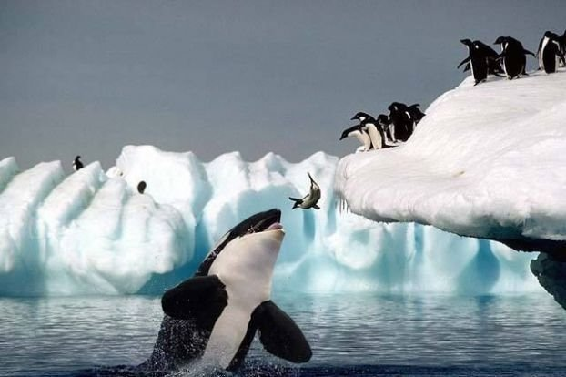 killer whale and penguins