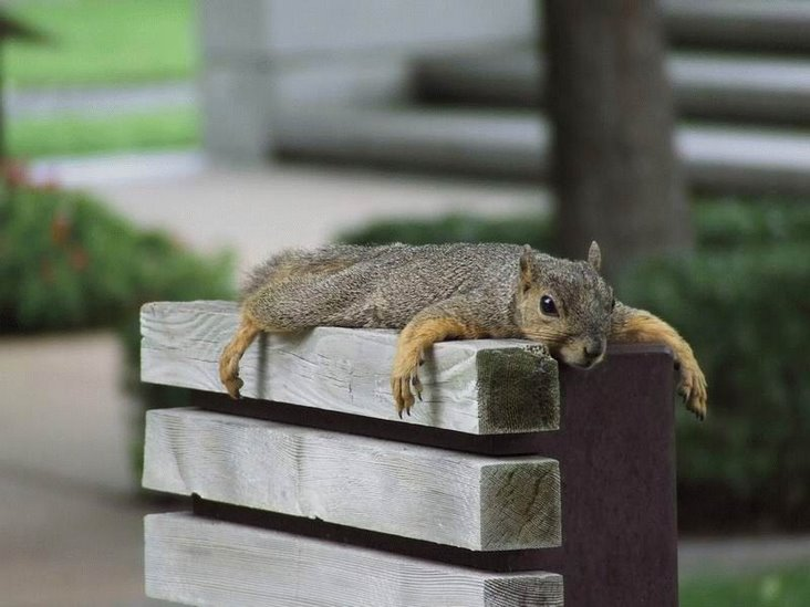 squirrel laying down