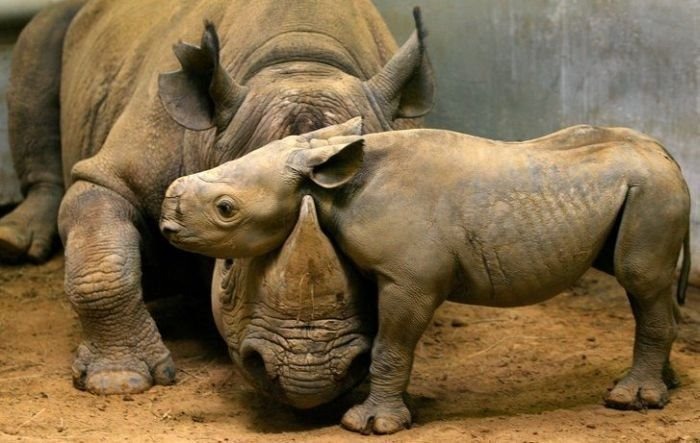 rhinoceros and baby